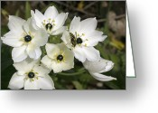 Greek Insects Greeting Cards - Star Of Bethlehem (ornithogalum Arabicum) Greeting Card by Bob Gibbons