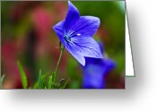 Wildflower Fine Art Greeting Cards - Star of Blue Greeting Card by Christi Kraft