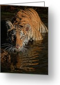Whiskers Greeting Cards - Stare and Stripes Greeting Card by Wade Aiken