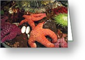 Photographs Digital Art Greeting Cards - Starfish Medley Greeting Card by Methune Hively
