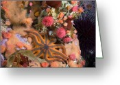 Sea Anemones Greeting Cards - Starfish, Proliferating Sea Anemones Greeting Card by Paul Nicklen