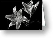 Flower Photos Greeting Cards - Stargazer Lily in Black and White Greeting Card by Endre Balogh