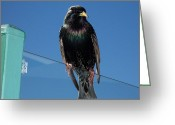 Watchful Eye Greeting Cards - Starling at Santa Monica Pier Greeting Card by Peter Mooyman