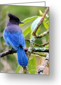 Blue Jay Greeting Cards - Stellar Blue Jay Greeting Card by Nick Gustafson