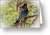 Blue Jay Greeting Cards - Stellar Jay Greeting Card by Bill Gallagher