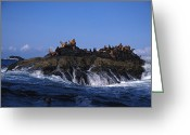 Laziness Greeting Cards - Stellar Sea Lions Bask On A Rock Greeting Card by Nick Norman