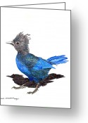 Large Bird Drawings Greeting Cards - Steller s Blue Jay Greeting Card by Jack Pumphrey