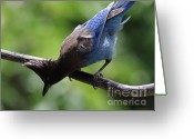 Perched Birds Greeting Cards - Stellers Jay . 7D6360 Greeting Card by Wingsdomain Art and Photography