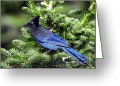 Black Beak Greeting Cards - Stellers Jay Greeting Card by Sharon  Talson