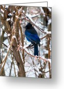 Winter Trees Greeting Cards - Stellers Jay Winter Greeting Card by Sharon  Talson