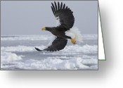 Ice Floes Greeting Cards - Stellers sea eagle in Greeting Card by Roy Toft