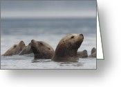 Carnivores Greeting Cards - Stellers Sea Lion Eumetopias Jubatus Greeting Card by Michael Quinton