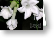 Molokai Greeting Cards - Stephanotis Greeting Card by James Temple