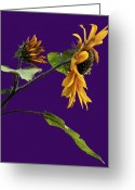 Visual Artist Greeting Cards - Still life with Sunflowers Greeting Card by Viktor Savchenko
