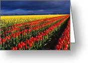 State Flowers Greeting Cards - Stormy Tulips Greeting Card by Eggers   Photography