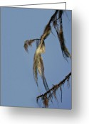 Swaying Greeting Cards - Strand of moss swaying gently with the wind - Tiger Mountain WA Greeting Card by Christine Till