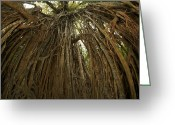 Fig Tree Greeting Cards - Strangler Fig Tree, Ficus Virens, Known Greeting Card by Tim Laman