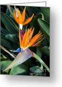 Canary Greeting Cards - Strelitzia reginae Greeting Card by Fabrizio Troiani