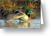 Business Decor Greeting Cards - Stretching Mallard Drake Greeting Card by Robert Frederick