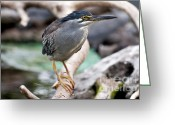 Heron Greeting Cards - Striated Heron Greeting Card by Fabrizio Troiani