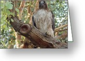 Red Tail Hawks Photo Greeting Cards - Strike A Pose Greeting Card by Davon Duncan