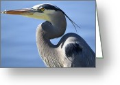 Blue Heron Photo Greeting Cards - Strike A Pose Greeting Card by Fraida Gutovich