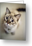 Staring Greeting Cards - Striped Cat Looking Up Greeting Card by Danielle D. Hughson