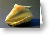 Skeletal Greeting Cards - Strombus inermis Seashell Greeting Card by Frank Wilson