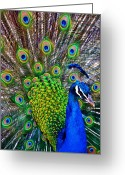 Peacock Greeting Cards - Strut Greeting Card by Angelina Vick