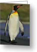 Tony Greeting Cards - Struttin Along The Beach Greeting Card by Tony Beck