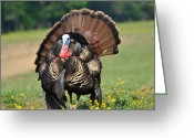 Eastern Turkey Greeting Cards - Strutting Gobbler Greeting Card by Todd Hostetter