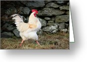 Grass Greeting Cards - Strutting White Rooster Greeting Card by Dominique Walterson
