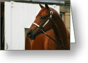 Quarter Horse Greeting Cards - Stud Greeting Card by Angela Rath