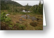 U.s. National Forest Greeting Cards - Stunted Muskeg Forest, Temperate Greeting Card by Gerry Ellis