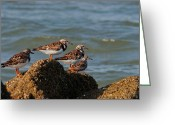 South Carolina Beach Greeting Cards - Sullivans Island Shore Birds Greeting Card by Melissa Wyatt