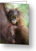 Primates Greeting Cards - Sumatran Orangutan 9 Month Old Baby Greeting Card by Suzi Eszterhas
