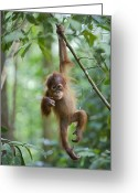 Ape. Great Ape Greeting Cards - Sumatran Orangutan Pongo Abelii One Greeting Card by Suzi Eszterhas