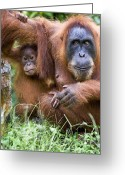 Orangutans Greeting Cards - Sumatran Orangutans Greeting Card by Tony Camacho