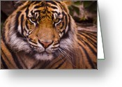 Strips Greeting Cards - Sumatran Tiger Greeting Card by Chad Davis