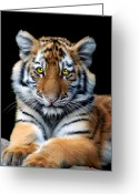 Tiger Cub Greeting Cards - Sumatran Tiger Cub Greeting Card by Julie L Hoddinott