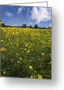 Ranunculus Photo Greeting Cards - Summer Buttercups Greeting Card by Meirion Matthias