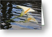 Calla Lily Greeting Cards - Summer Dreams Greeting Card by Barbara  White