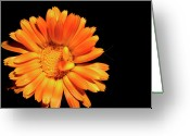Orange Daisy Photo Greeting Cards - Summer Flower hiding Beetle Greeting Card by Thomas R Fletcher