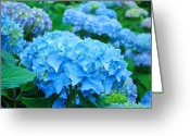 Blue Florals Greeting Cards - Summer Garden Blue Hydrangea Flowers art print Baslee Greeting Card by Baslee Troutman Fine Art Photography
