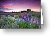 Travel Destinations Greeting Cards - Summer Lupins At Sunrise At Lake Tekapo, Nz Greeting Card by Atan Chua