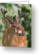 Whitetail Deer Greeting Cards - Summer Velvet Greeting Card by Bill  Wakeley