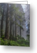 Del Norte Greeting Cards - Sun Breaking on Redwoods Greeting Card by Greg Nyquist