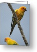 Property Released Photography Greeting Cards - Sun Conures Aratinga Solstitialis Greeting Card by Joel Sartore