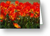Giclee Photo Greeting Cards - Sun-Drenched Tulips Greeting Card by Suzanne Gaff