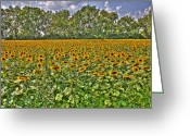 Mgm Greeting Cards - Sun Flowers Greeting Card by Nicholas  Grunas